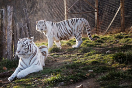 National Tiger Sanctuary, Branson MO Shows (0)
