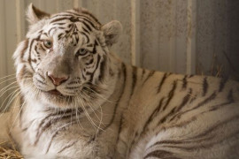 National Tiger Sanctuary, Branson MO Shows (1)
